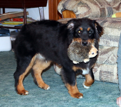 Romeo is a Miniature American Shepherd male black tri puppy for sale in Iowa.