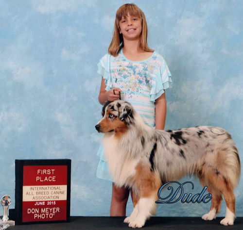 International Champion Mockingbird High Class Dude shown by our grand daughter to 1st place finish at a International Dog Show