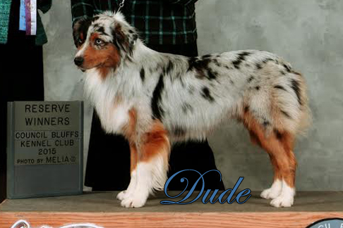 Mini Aussies Irresistible Angels - Dude a blue merle male taking Reserve Winners Dog at an AKC show.