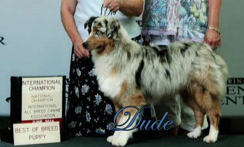 Mini Aussies Irresistible Angels - Dude a blue merle male.