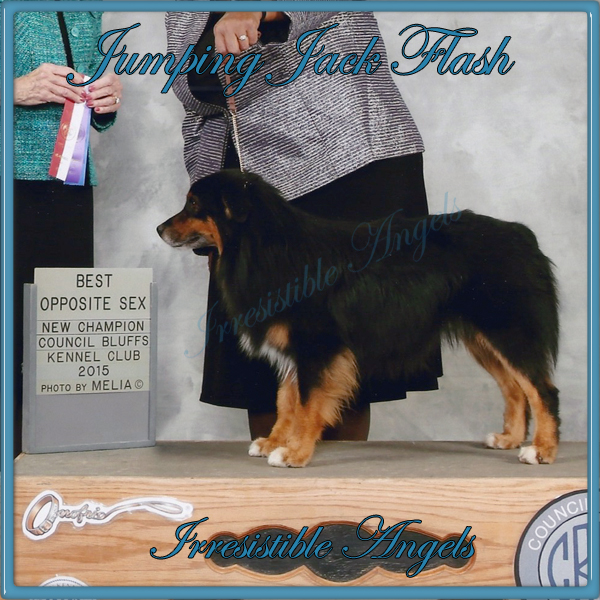Jumping Jack Flash is now an AKC Champion and an International Champion.