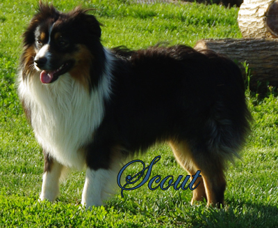 Mockingbirds Hi Ho Scout - a black tri male Miniature American Shepherd